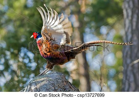 Stock Photographs of Cock Pheasant (Phasianus colchicus) ending.