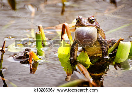 Picture of Bronze frog mating call k13286367.