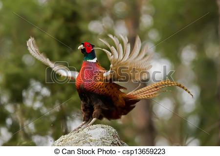 Stock Photo of The Cock Pheasant(Phasianus colchicus) ending his.