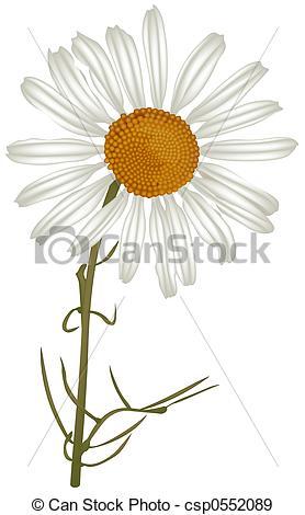 Stock Illustration of Chamomile (Matricaria chamomilla).