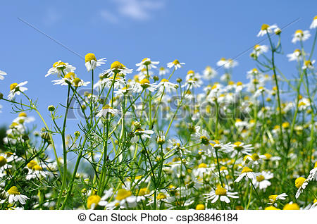 Pictures of closeup of blooming camomile (Matricaria chamomilla.
