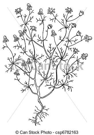 Matricaria chamomilla Illustrations and Stock Art. 27 Matricaria.