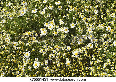 Stock Photography of Chamomile, Matricaria chamomilla x75551431.