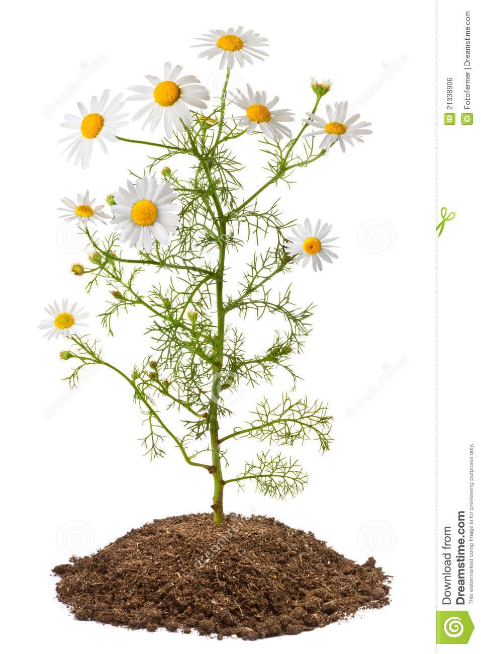 Chamomile Plant (Matricaria Chamomilla) Royalty Free Stock Image.