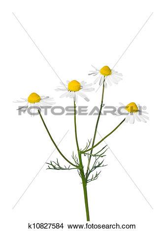 Stock Photo of German chamomile (Matricaria chamomilla) k10827584.