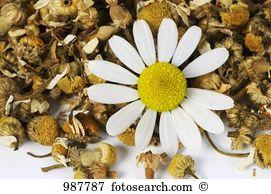 Matricaria chamomilla Images and Stock Photos. 333 matricaria.