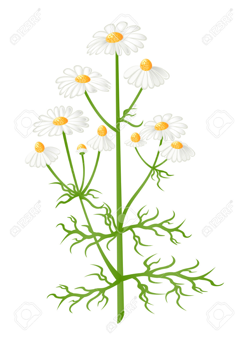 Matricaria Stock Illustrations, Cliparts And Royalty Free.
