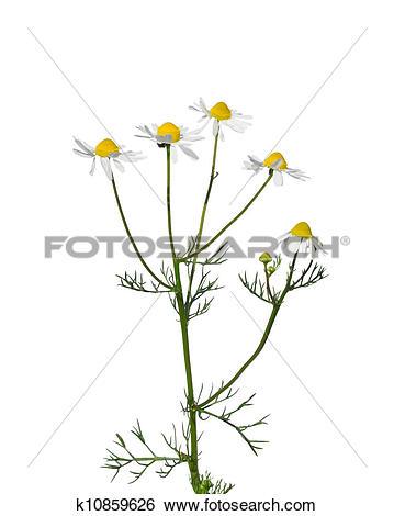 Stock Images of German chamomile (Matricaria chamomilla) k10859626.