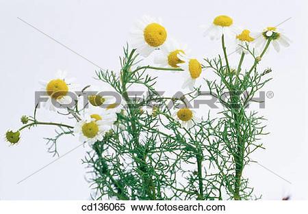 Stock Image of Camomile (Matricaria chamomilla) cd136065.