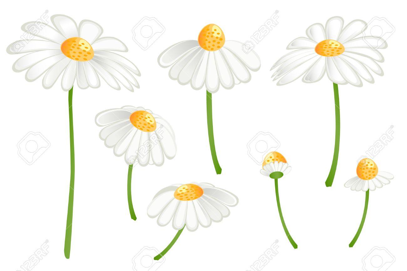 Set Of Camomile Flowers. Matricaria Chamomilla Royalty Free.