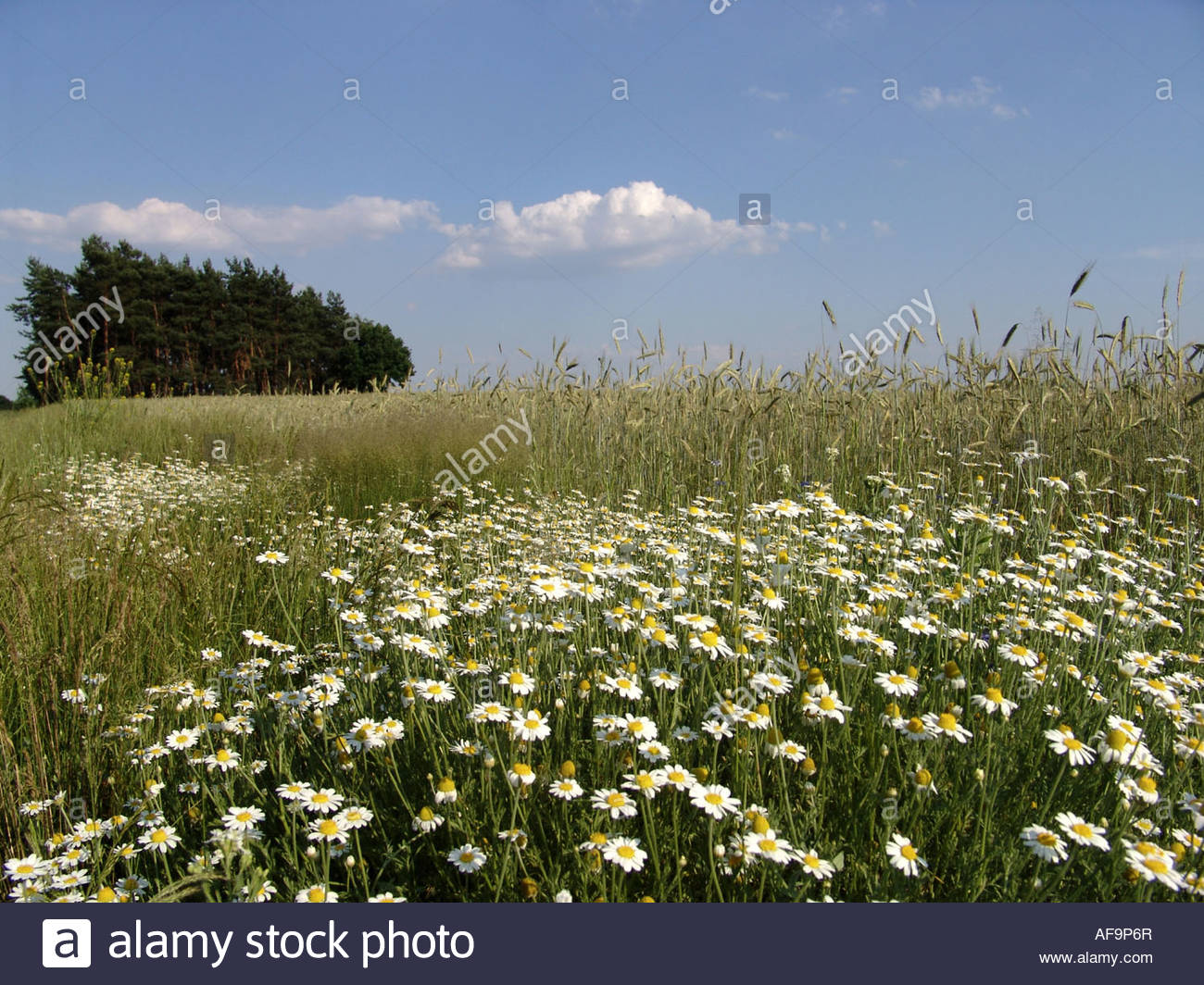 Scentless Mayweed, Scentless Chamomile (tripleurospermum.