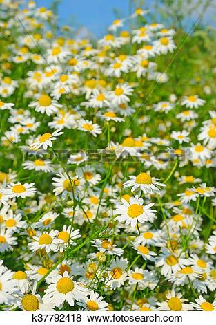 Pictures of Matricaria recutita (Matricaria chamomilla) flowers.