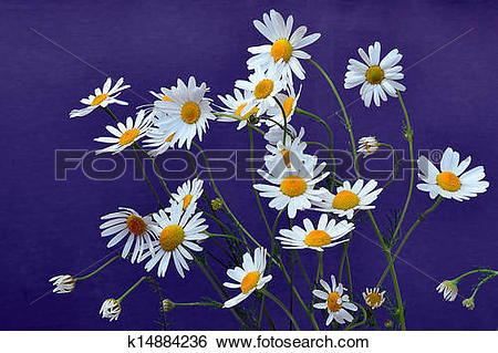 Stock Images of German chamomile flowers.
