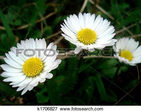 Picture of matricaria recutita k1706827.