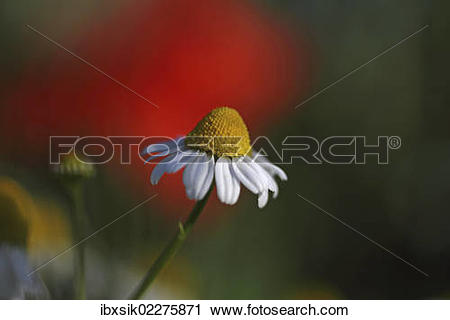 Stock Photography of Chamomile flowers (Matricaria chamomilla or.