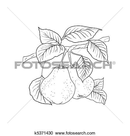 Clipart of Two mature yellow pears with leaves on a branch.