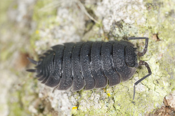 "Search photos ""sow bug""."