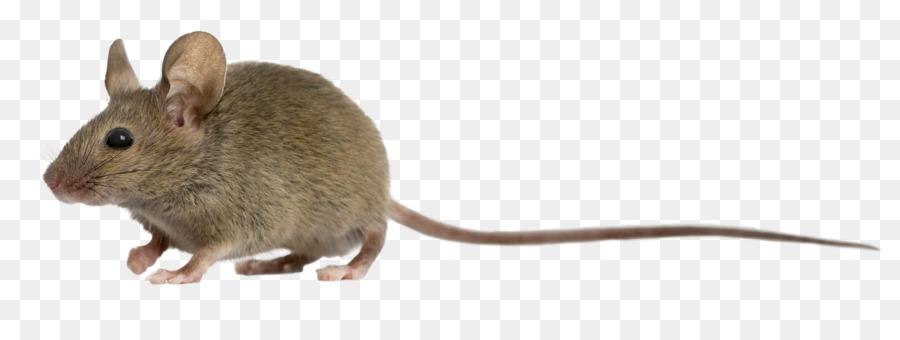 Computer Maus Ratte Fotografie.