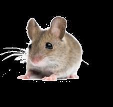 Little Mouse, Rat PNG Image #73486.
