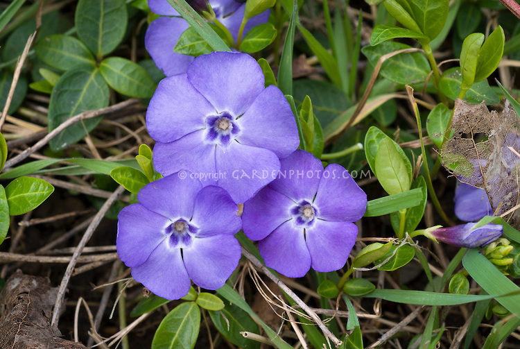 Purple flower ground cover plant round designs ground cover purple flowers vinca round designs mightylinksfo