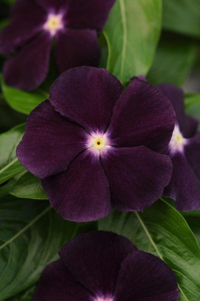 1000+ images about Cottage Garden Plants on Pinterest.