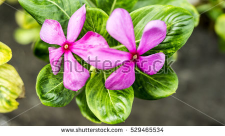 Periwinkle Stock Photos, Royalty.