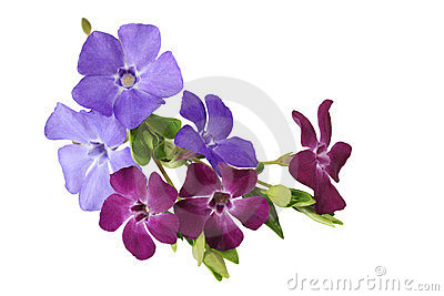 Purple Periwinkle Flower Green Background Stock Photos, Images.
