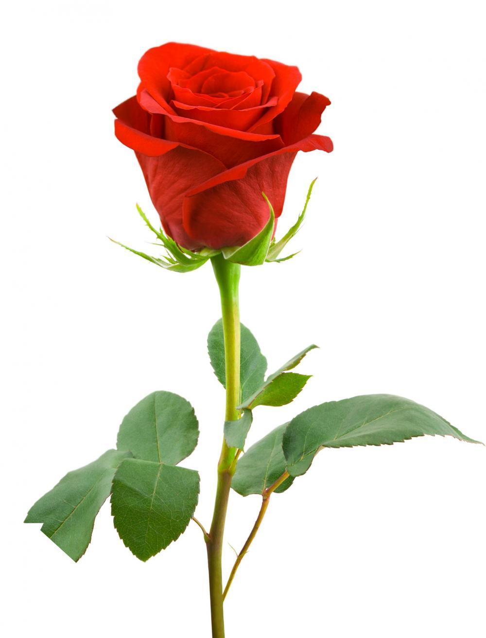 Mawar png 8 » PNG Image.