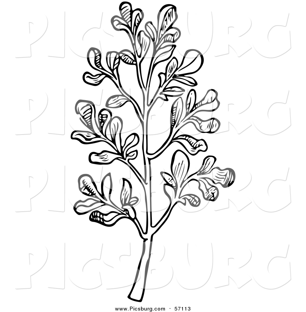 Vector Clip Art of a Black and White Herbal Rue Plant by Picsburg.