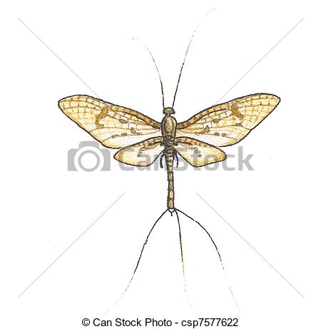 Mayflies Illustrations and Clip Art. 94 Mayflies royalty free.