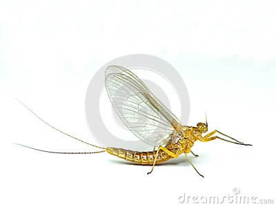 Mayfly, Ephemera Danica Stock Photos.
