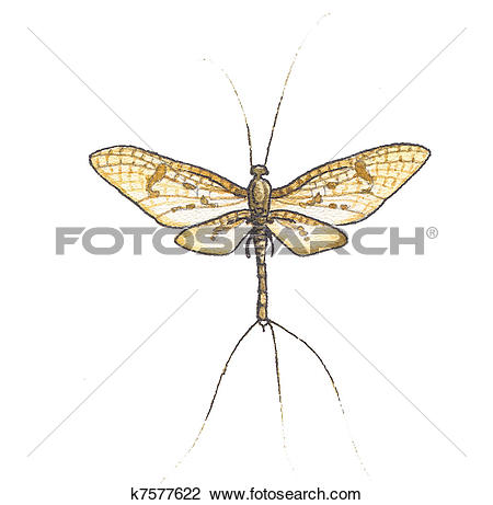 Clip Art of Mayflies k7577622.