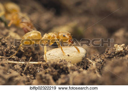 """Stock Photograph of """"Yellow Meadow Ant (Lasius flavus), adult."""