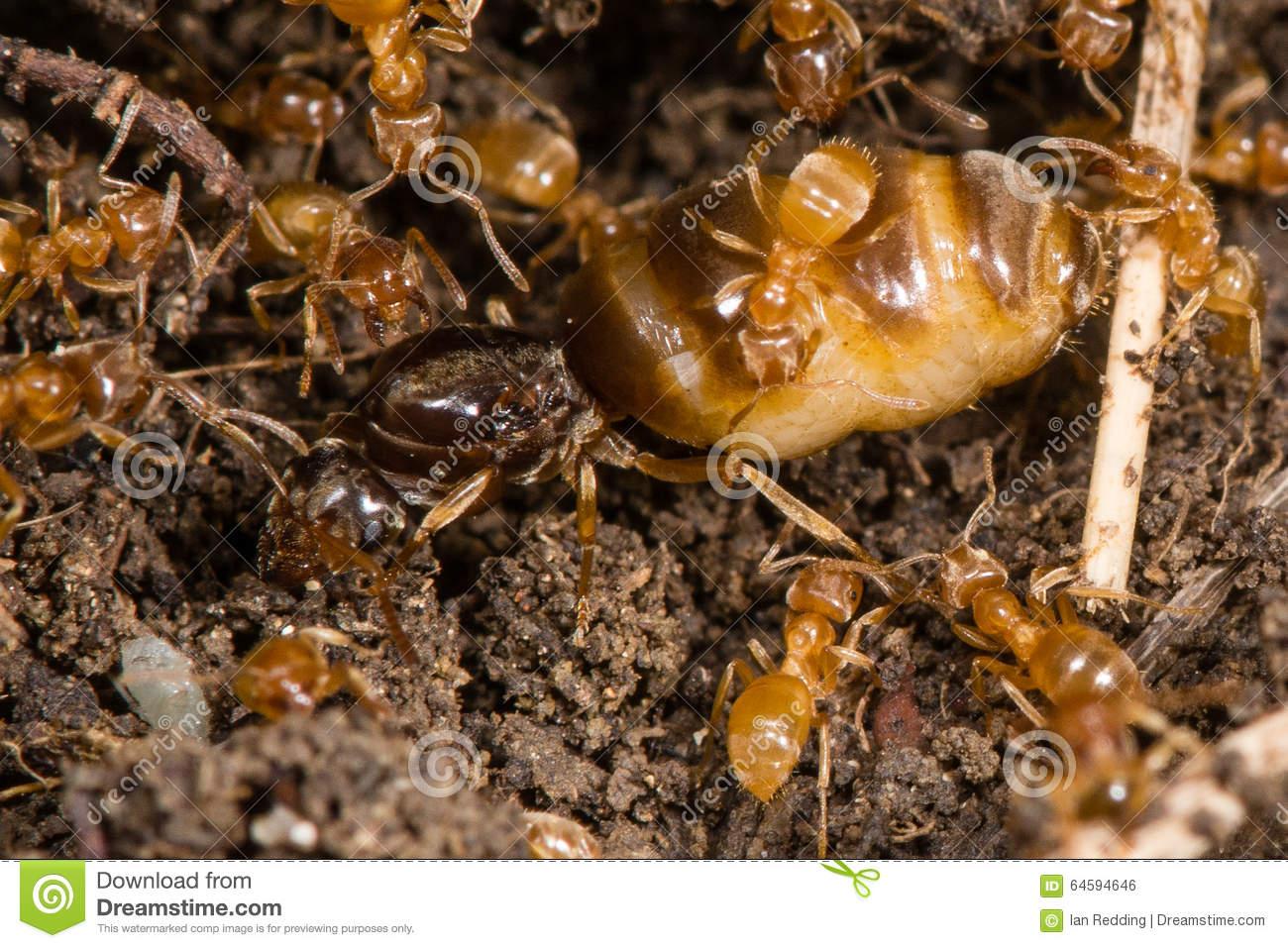 Yellow Meadow Ants (Lasius Flavus) Tending Queen Stock Photo.