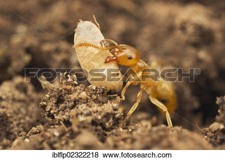 """Pictures of """"Yellow Meadow Ant (Lasius flavus), adult, moving."""