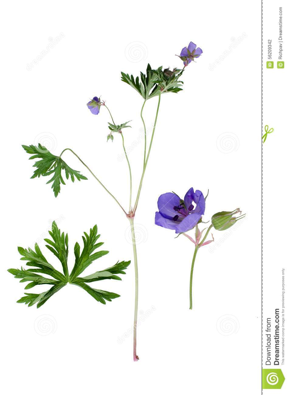 Meadow Cranesbill Stock Photo.