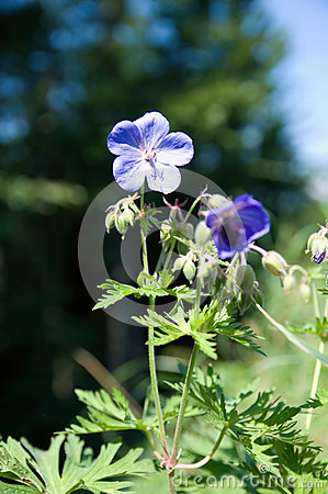 Meadow Cranesbill Flower Stock Photo.