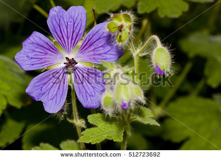 "meadow Geranium"" Stock Photos, Royalty."