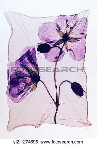 Stock Image of Pressed geranium Meadow Cranesbill.
