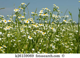 Fleabane Stock Photo Images. 162 fleabane royalty free images and.