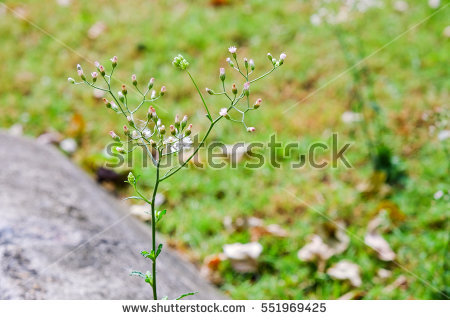 Fleabane Stock Photos, Royalty.