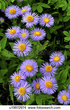 Stock Photo of A bunch of wild Fleabane flowers growing in the.