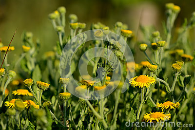 Flowering Fleabane Plants On Meadow Stock Photo.