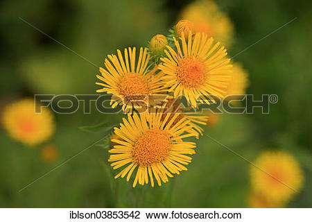 "Stock Photo of ""British Yellow."