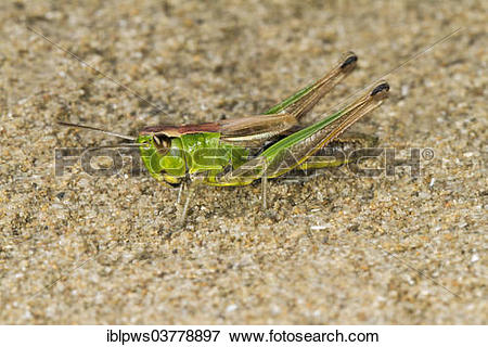 "Picture of ""Meadow Grasshopper (Chorthippus parallelus), basking."