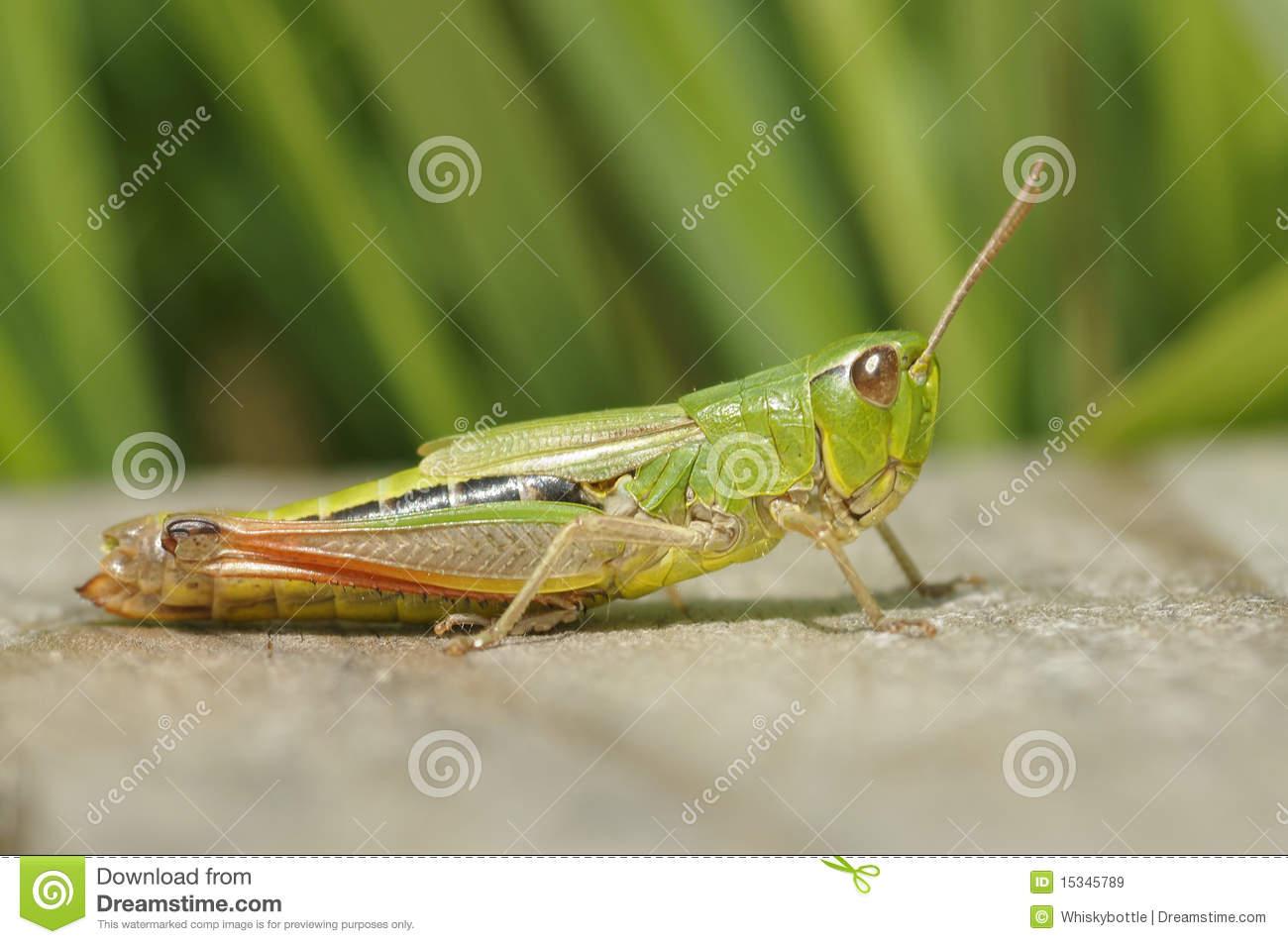 Meadow Grasshopper.