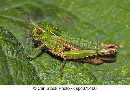 Stock Photography of meadow grasshopper (Chorthippus parallelus.