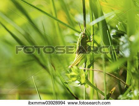 Stock Photo of Meadow Grasshopper (Chorthippus parallelus) in the.