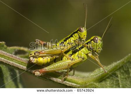 "Mating Meadow Grasshoppers ""Chorthippus Parallelus"". Stock Photo."