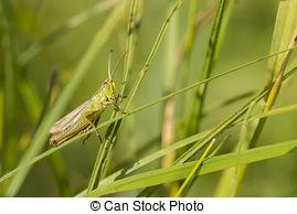 Stock Image of Meadow Grasshopper (Chorthippus parallelus) hiding.